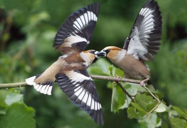 USH-4129 Hawfinch, 2 birds fighting over food Lower Saxony, Germany Coccothraustes coccothraustes Duncan Usher Please note that prints are for personal display purposes only and may not be reproduced in anyway