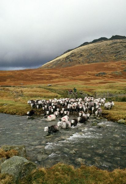 Herdwick Sheep and Shepherd