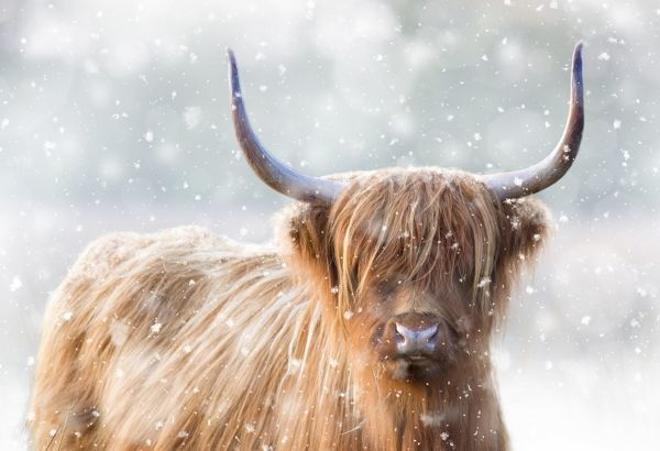 Highland Cattle - in winter snow Norfolk grazing marsh - UK
