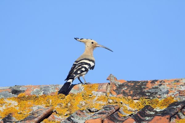 USH-4143 Hoopoe - on roof Alentejo region, Portugal Upupa epops Duncan Usher Please note that prints are for personal display purposes only and may not be reproduced in anyway
