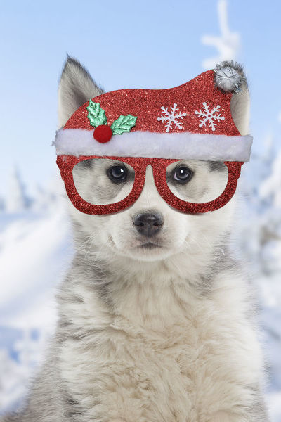 Husky puppy wearing Christmas hat and glassess