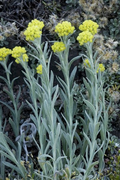 ROG-12483 An immortelle, or everlasting from southern Africa Helichrysum splendidum Bob Gibbons Please note that prints are for personal display purposes only and may not be reproduced in any way