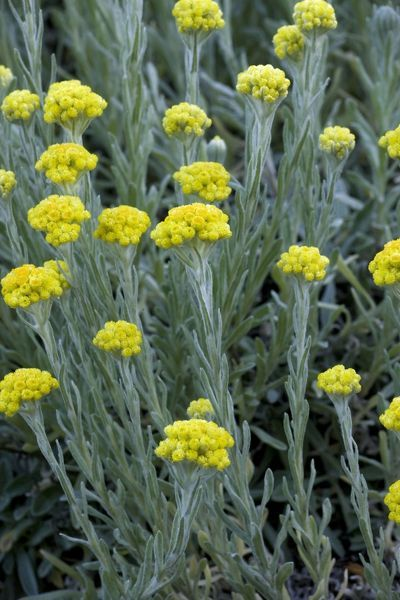 ROG-12484 Immortelle or Sand Everlasting  S. Sweden. Helichrysum arenarium Bob Gibbons Please note that prints are for personal display purposes only and may not be reproduced in any way