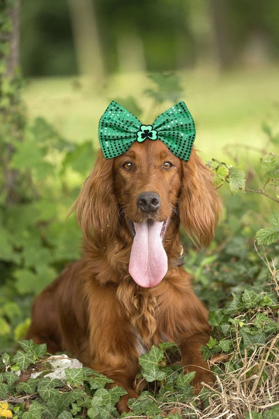 Irish / Red Setter dog outdoors wearing St Patrick's day bow Digital manipulation Date