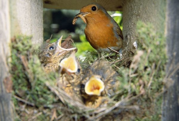 JD-13595 European ROBIN - feeding young at nest, with caterpillar / larvae Erithacus rubecula John Daniels Please note that prints are for personal display purposes only and may not be reproduced in any way