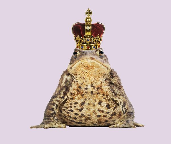 "JD-15445-M Common Toad - ""Frog Prince"" wearing crown Digitally manipulated image John Daniels Please note that prints are for personal display purposes only and may not be reproduced in any way"
