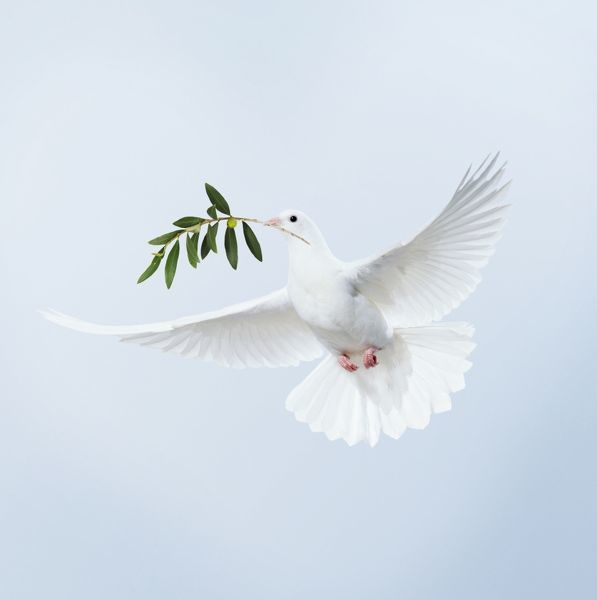 JD-15558-M Dove - in flight carrying olive branch in beak peace  digitally manipulated image John Daniels Please note that prints are for personal display purposes only and may not be reproduced in anyway. contact details: prints@ardea.com tel