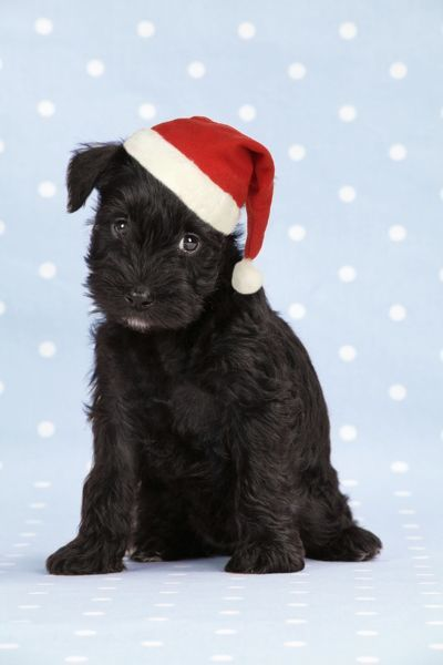 JD-19996-M1 Dog. Miniature Schnauzer puppy (6 weeks old) on blue background wearing Christmas hat Also known as Zwergschnauzer John Daniels Please note that prints are for personal display purposes only and may not be reproduced in any way