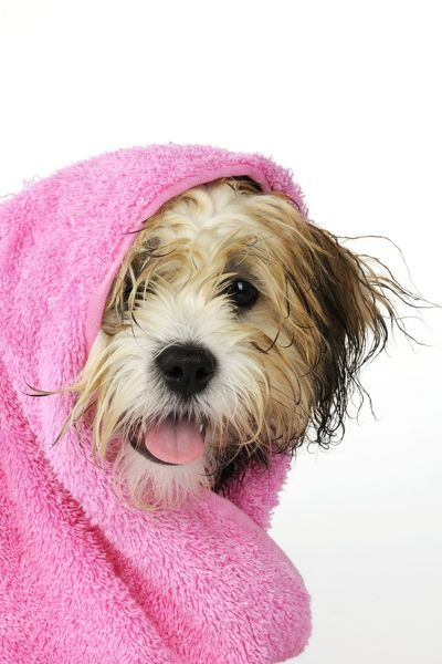JD-21389 Teddy Bear dog - wet, wrapped in a towel cross breed of shih tzu and bichon frise. John Daniels Please note that prints are for personal display purposes only and may not be reproduced in any way