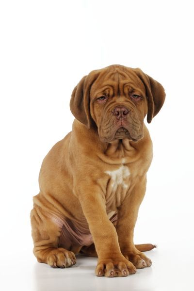 JD-21414 DOG. Dogue de bordeaux puppy sitting down John Daniels Please note that prints are for personal display purposes only and may not be reproduced in any way