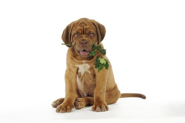 JD-21427 DOG. Dogue de bordeaux puppy sitting down holding holly John Daniels Please note that prints are for personal display purposes only and may not be reproduced in any way