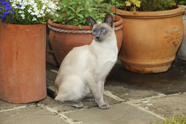 JD-21431 CAT. Blue point siamese cat sitting in front of a flower pot John Daniels Please note that prints are for personal display purposes only and may not be reproduced in any way