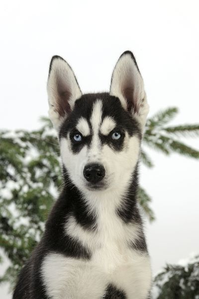 Jd 21521 Dog Siberian Husky Puppy In Snow Head Shot Jd 21521