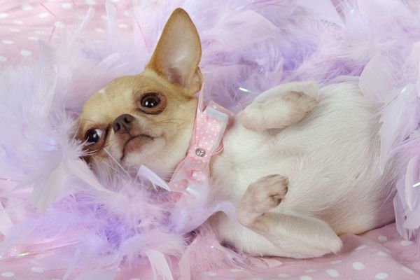 JD-22057 DOG Chihuahua wearing pink collar laying on purple feather boa