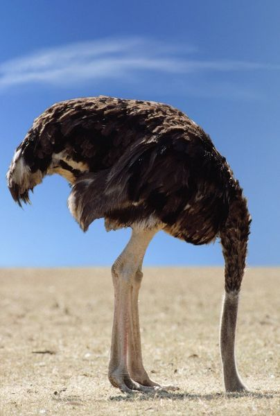 JD-6883-M Ostrich - with head in sand Struthis camelus Digitally manipulated image - background changed John Daniels Please note that prints are for personal display purposes only and may not be reproduced in anyway