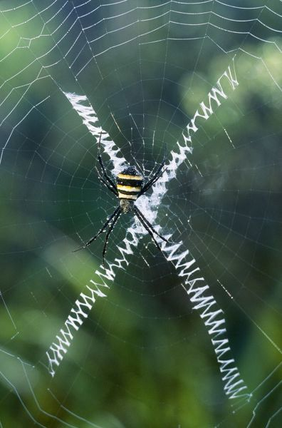 JPF-12645 Orb-Web SPIDER - making a web New Caledonia Argiope sp