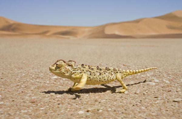 KAT-451 Namaqua Chameleon - Running over the gravel plains with dunes in the background