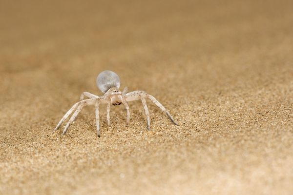 KAT-469 White Lady Spider - Portrait on dune sand