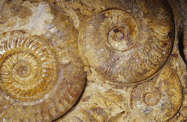 KEL-1500 Ammonite Fossil - Triassic period 248-213 m.y.a. Caen, France Ken Lucas Please note that prints are for personal display purposes only and may not be reproduced in any way