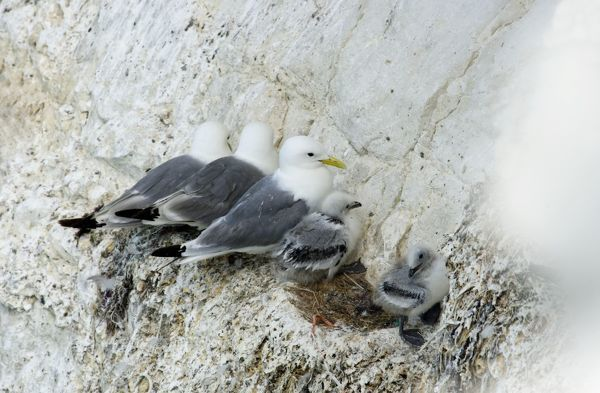 Kittiwake - three adults and two chicks perched in a row on a rock ledge