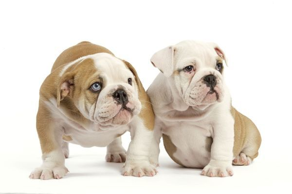 La 6948 English Bulldog Two Puppies