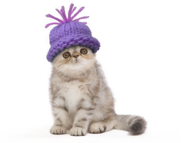 LA-7539-M1 Cat - Exotic Black Tortie Silver 2 month old Tabby kitten wearing a woolly hat. Jean-Michel Labat Please note that prints are for personal display purposes only and may not be reproduced in any way