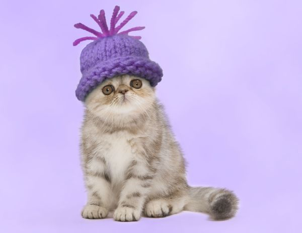 LA-7539-M2 Cat - Exotic Black Tortie Silver 2 month old Tabby kitten wearing a woolly hat. Jean-Michel Labat Please note that prints are for personal display purposes only and may not be reproduced in any way