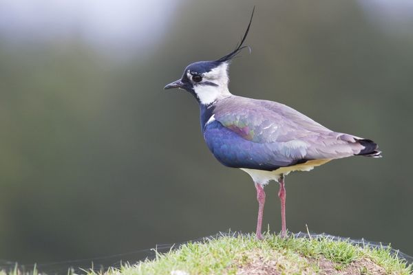 DK-181 Lapwing - single adult standing on grassy mound Cairngorm National Park, Highlands, Scotland, UK. Vanellus vanellus David Kilbey Please note that prints are for personal display purposes only and may not be reproduced in any way