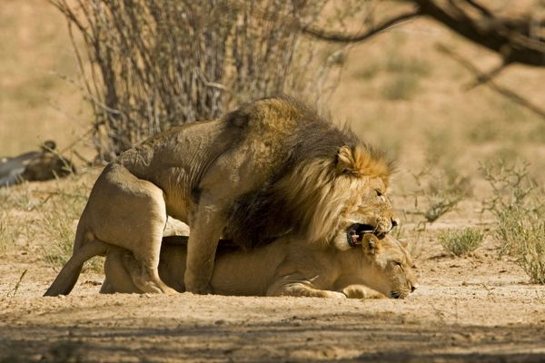 Lion - mating pair with the male biting the head and neck of the female