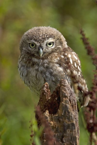 Little Owl sitting on post. UK. Date