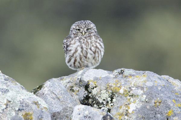 USH-4176 Little Owl - perched on boulder Alentejo region, Portugal Athene noctua Duncan Usher Please note that prints are for personal display purposes only and may not be reproduced in anyway