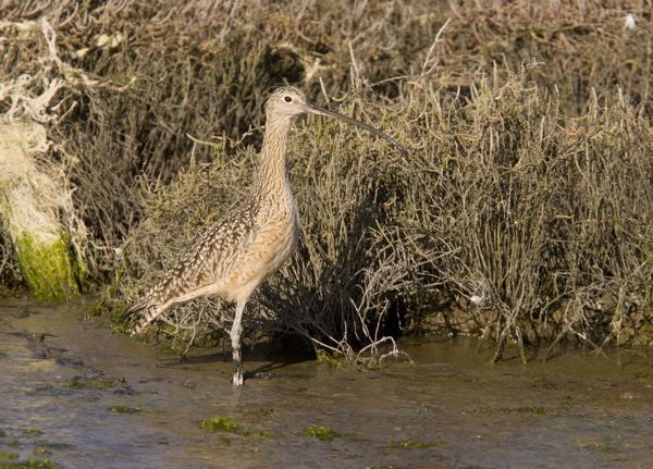 ROG-13865 Long-billed Curlew - feeding in saltmarsh and mudflats California, United States Numenius americanus Bob Gibbons Please note that prints are for personal display purposes only and may not be reproduced in any way