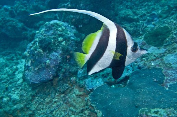 VT-8891 Longfin Bannerfish Indo-pacific tropical waters - Fiji Heniochus acuminatus Valerie & Ron Taylor Please note that prints are for personal display purposes only and may not be reproduced in anyway