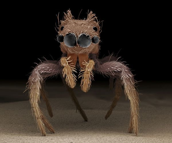 LRDS-103 Jumping Spider Scanning Electron Micrograph (SEM) Portia sp