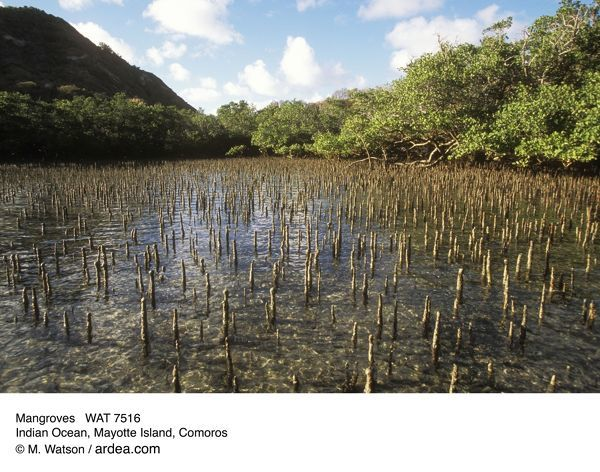 WAT-7516 MANGROVES - Pneumatophores, Indian Ocean Mayotte Island, Comoros M. Watson Please note that prints are for personal display purposes only and may not be reproduced in anyway