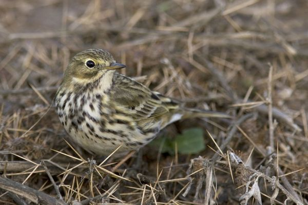 RD-32 Meadow Pipit Anthus pratensis Giacomo Radi Please note that prints are for personal display purposes only and may not be reproduced in any way