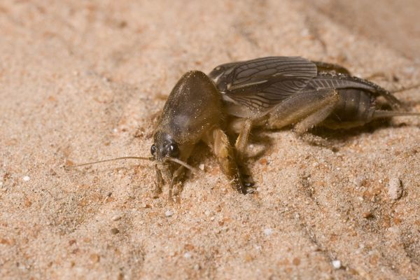 DOW-363 Mole Cricket  Abu Dhabi, United Arab Emirates Gryllotalpus sp. Steve Downer Please note that prints are for personal display purposes only and may not be reproduced in any way