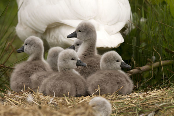 Mute swan - female with cygnets - Norfolk, UK Date