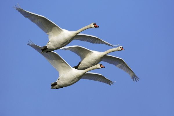 USH-1571 Mute Swans - In flight Lower Saxony, Germany. Cygnus olor Duncan Usher Please note that prints are for personal display purposes only and may not be reproduced in any way