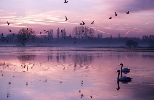 MUTE SWANS - on lake at sunset