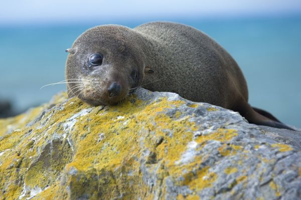 SAS-910 New Zealand Fur Seal - portrait of a young one resting on a rock looking sad Kaikoura, South Island, New Zealand Arctocephalus forsteri The New Zealand Fur Seal is endemic to New Zealand