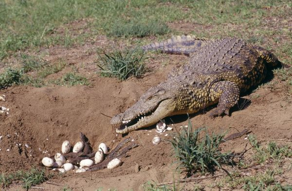 nile crocodile at nest with eggs and young wat 1433 nile