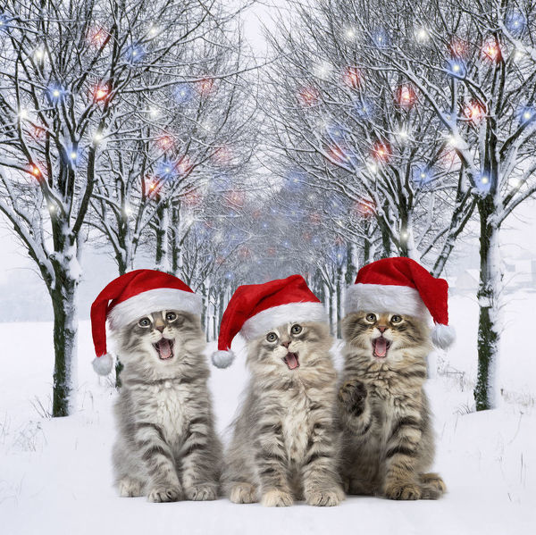 Norwegian Forest Cat wearing Christmas hats mouths Date