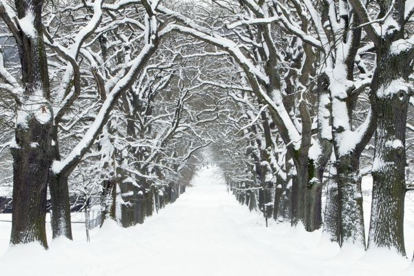 USH-4672 Oak Trees - avenue in winter snow Sababurg - North Hessen - Germany Quercus robur Duncan Usher Please note that prints are for personal display purposes only and may not be reproduced in any way