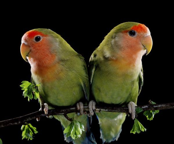 LA-114 Peach-Faced LOVEBIRDS - two Agapornis roseicollis Jean Michel Labat Please note that prints are for personal display purposes only and may not be reproduced in any way