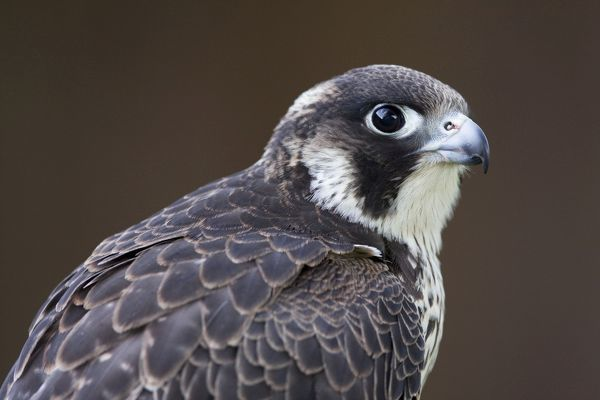 DK-204 Peregrine Falcon - close-up of single immature bird Wiltshire, England, UK Falco peregrinus David Kilbey Please note that prints are for personal display purposes only and may not be reproduced in any way