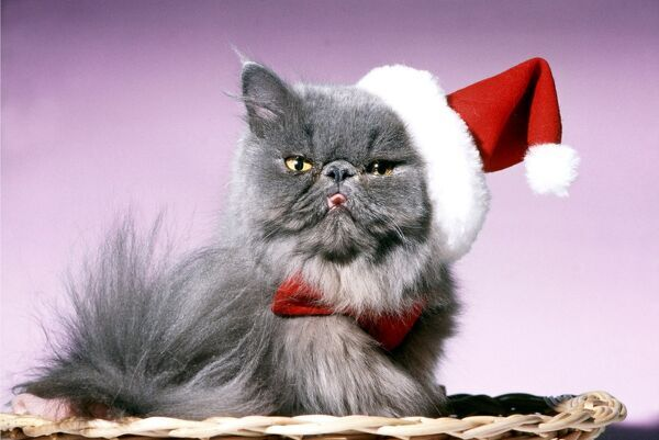 Persian Cat - Santa look in basket in Christmas hat and tie