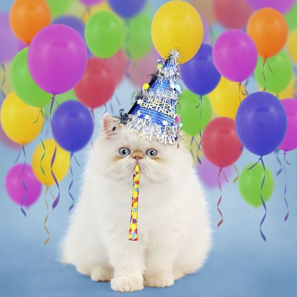 Persian Seal Point kitten wearing a Happy Birthday party #11384399