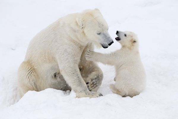 Mother Polar Bear in snow, playing with her 4 month old cub in winter