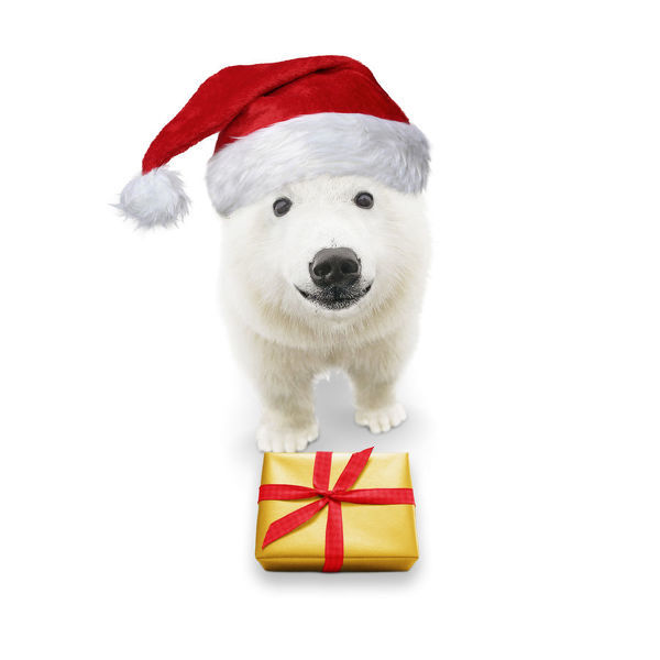 Polar Bear, wearing Christmas hat with Christmas present